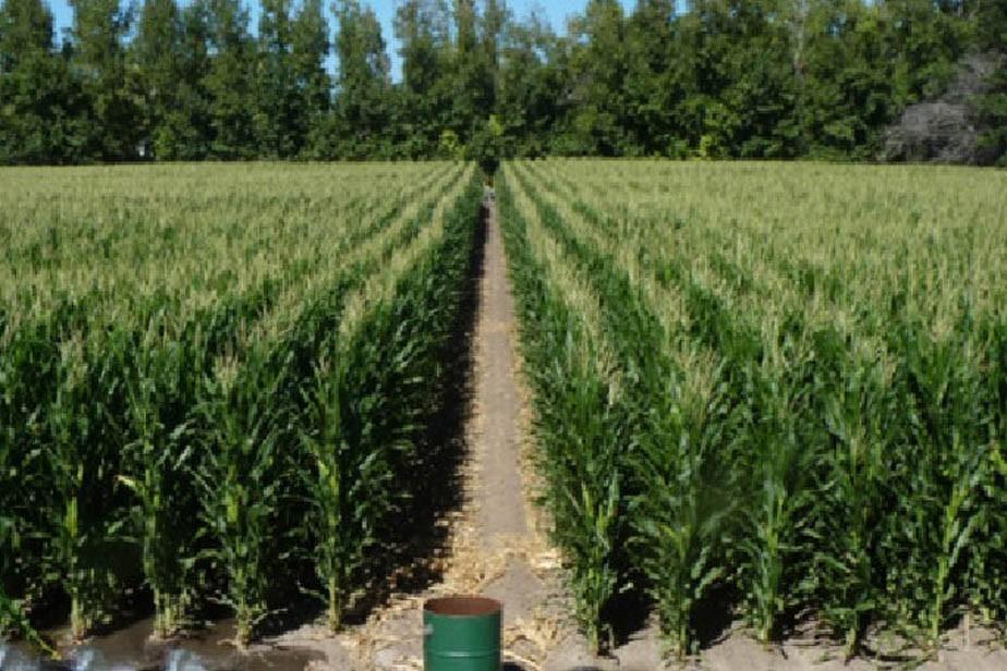 Cada vez más productores apuestan a la siembra de maíz para forraje