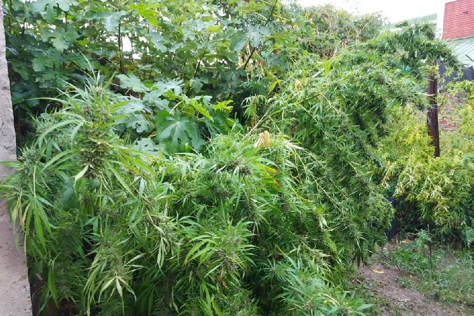 Exitosos resultados en la política contra el narcotráfico: secuestran más de 7 kilos de marihuana